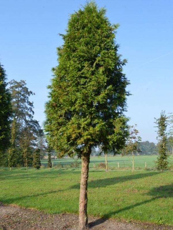thuja occidentalis 39 brabant 39 westerse levensboom hoogstam bijzondere bomen by ten hoven bomen. Black Bedroom Furniture Sets. Home Design Ideas